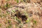 juvenile brown-headed cowbird blending in