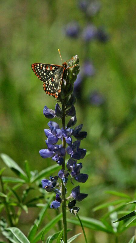 Ediths Checkerspot on Lupin