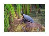Turtle - 2