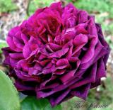 The Prince - an older David Austin rose