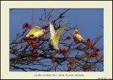 Corellas - Perth