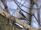 Backyard White-Breasted Nuthatch