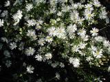 White  Aster (perennial)