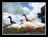 Ducks, Foldhill Lane, Martock