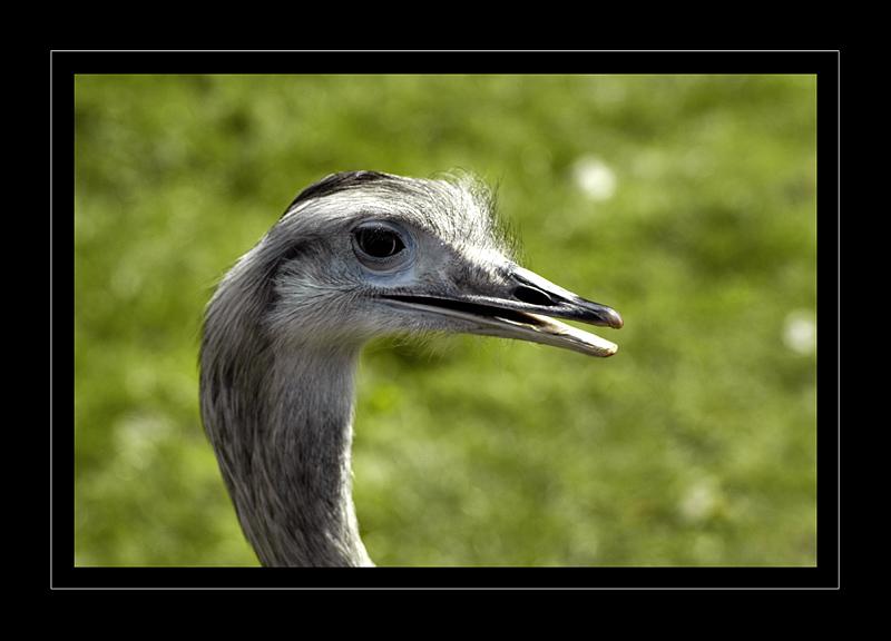 Emu says hello