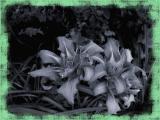 BW Day Lily.jpg(679)