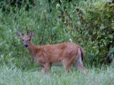 blurred deer.jpg(235)