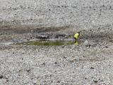 Yellow finch having a drink.jpg(191)