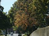 Trees on Main in Ky.jpg(406)