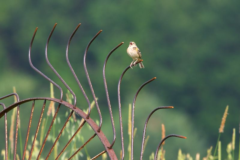 Hayfield and Singing Sparrow