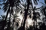 oasis-palmtrees.jpg