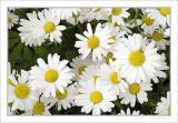 Wild daisy fields