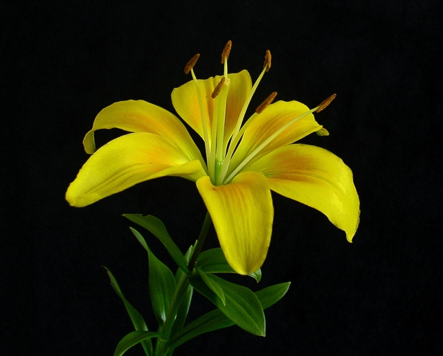 Flower Lilly.JPG