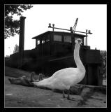 Bords de MarneFamille cygne 4