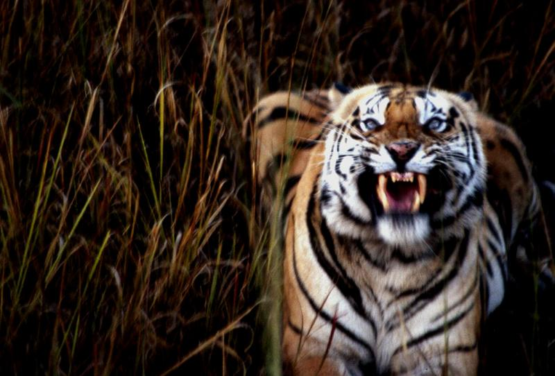 A Tiger's Fury, Bandhavgarh National Park, India, 1990
