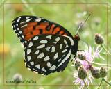 Regal Fritillary-FemaleSpeyria idalia