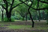 Oak Trees - Shinjuku Gyoen