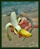 Whiptail Lizard, Washington Park