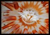 Banded Tube-Dwelling  Anemone