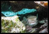 Porcupinefish, AKA Spotted Spiny Puffer