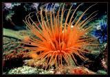 Orange Tube Anemone