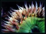 Green Anemone