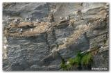 Mouettes tridactyles / Blacked-legged Kittiwake