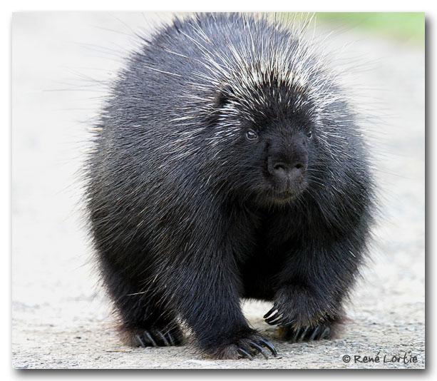 Porc-épic / Porcupine