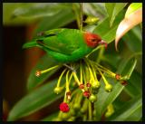 Bay-headed Tanager 3