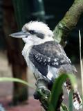 Kookaburra Profile