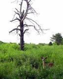 deer-watch