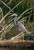 tri_colored_heron