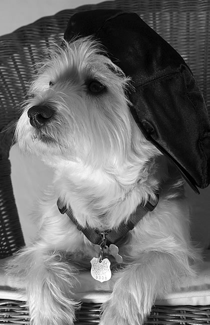 Zoey the West Highland Terrier