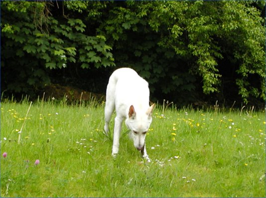 Sheba, the wonder dog of Tralee