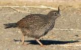 California Quail, chick