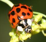 Lady Beetles - Genus Harmonia