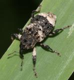 Weevils - Subfamily Cryptorhynchinae