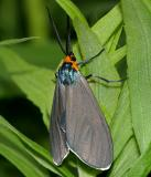 8262 -- Virginia Ctenucha Moth -- Ctenucha virginica
