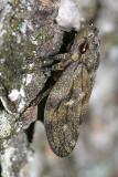 Pine Spittle Bug - Aphrophora cribrata