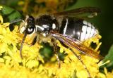 Dolichovespula maculata (Bald-faced Hornet)