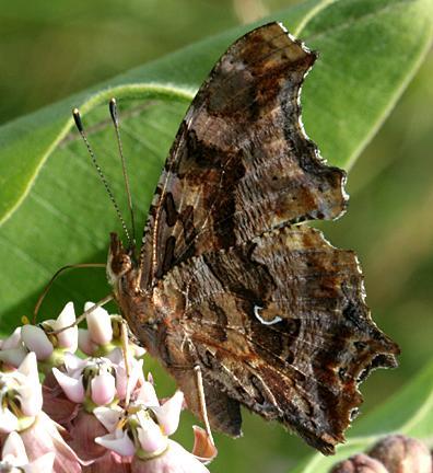 Eastern Comma - Polygonia comma on milkweed