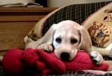 Labrador Retriever DouDou was a kiddie Dog