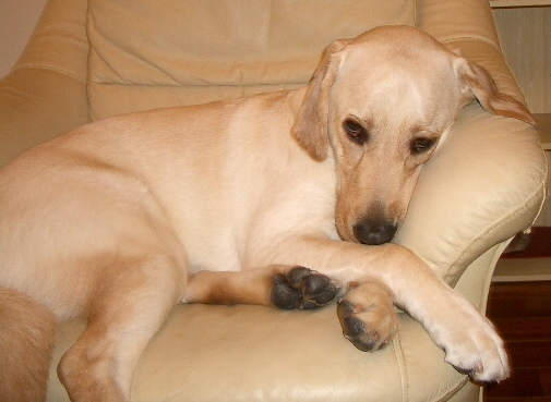 Labrador Retriever DouDou was going to sleep