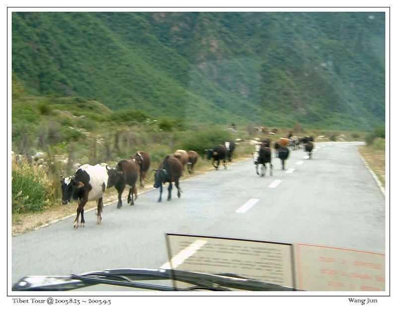 连牛都知道要靠右行走!