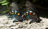 Pipevine Swallowtail 1