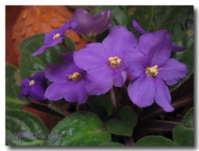 Violets    /   July 7, 2004