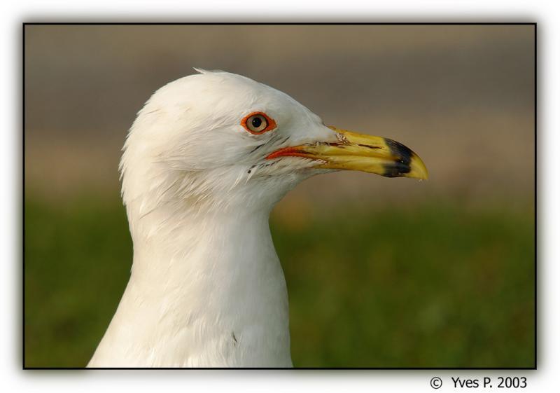 Gull ...