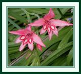 Gladiolus sp. pink