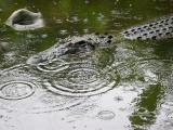 croc in the rain. Bangkok