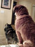 Denali and Toby On Guard